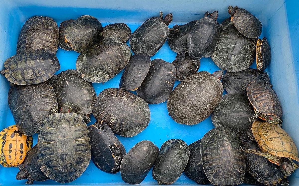 佐鳴湖で捕獲されたカメたちの画像