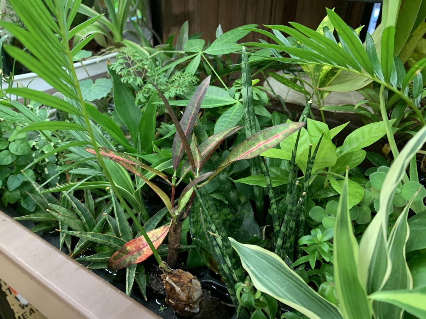 マラナタで販売している観葉植物の画像