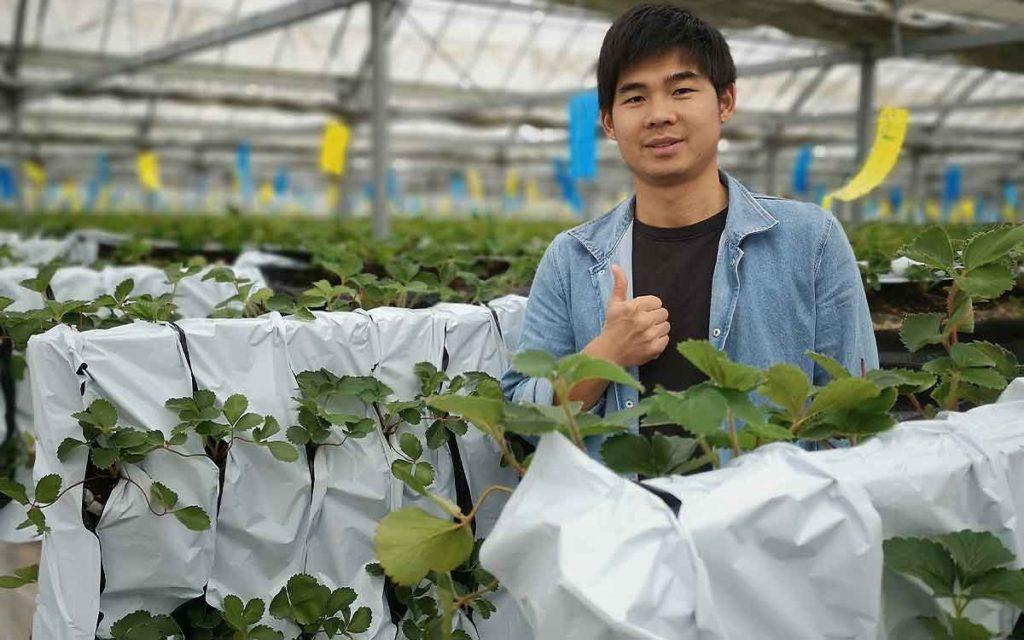 スズキサポートさんのビニールハウスにて。イチゴ栽培の画像