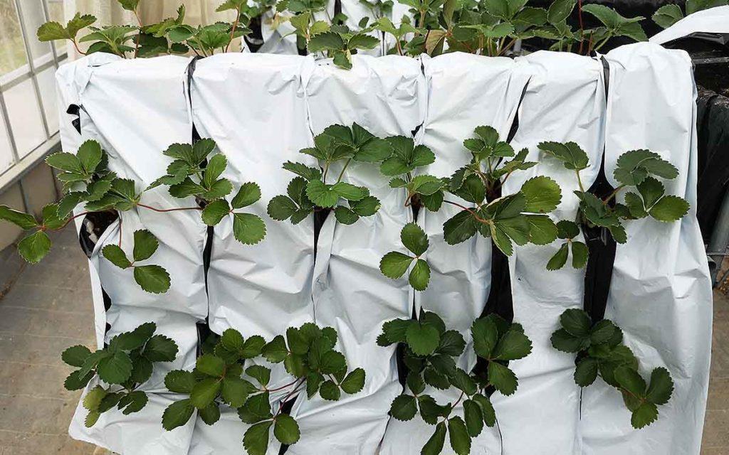イチゴ栽培の生産性向上の垂直型栽培方法