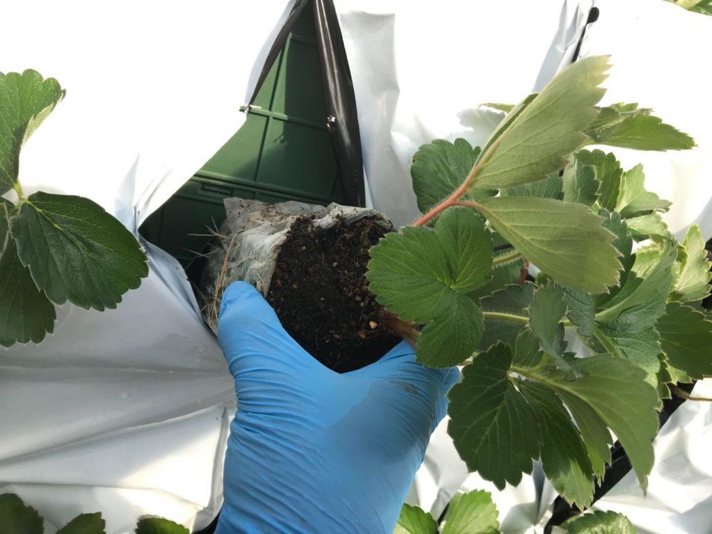 イチゴ栽培の個別管理。ポットで管理するイチゴ苗の画像