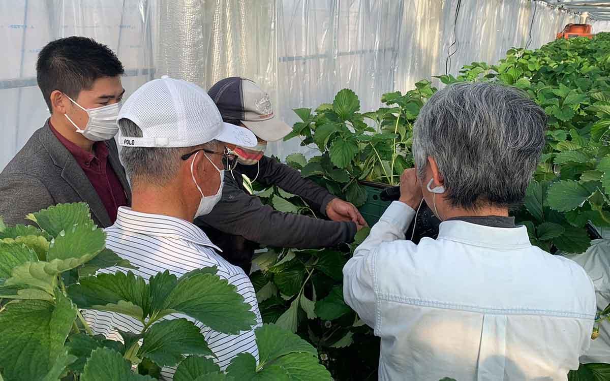 SBSテレビで、スズキ・サポートさんのビニールハウスで栽培したイチゴの撮影をする風景画像