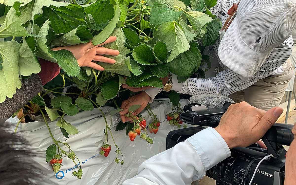 株式会社スズキ・サポートさんの立体イチゴ栽培の様子の画像